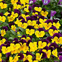 Viola - Duet Yellow (Pack of 12)