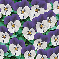 Viola - Penny White Jump Up (Pack of 12)