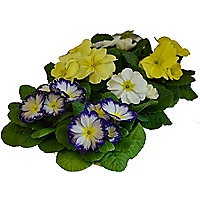 Primrose Blueberry Lemon Fizz Bedding Plant