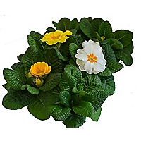 Primrose Spring Treasure Bedding Plant