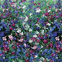 Trailing Lobelia Mixed Plant (Pack of 24)