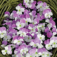 Viola White Rose Wing