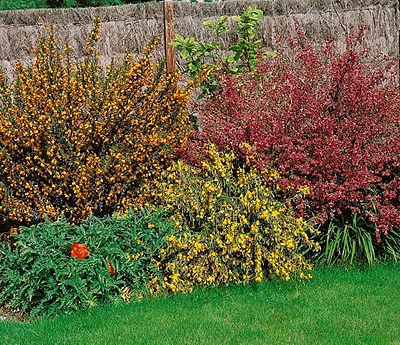 Garden shrubs climbing plants flowering shrubs Homebase