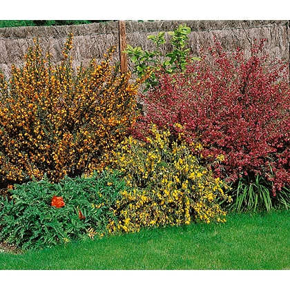 10 best fast growing shrubs for instant garden impact alan for Garden trees homebase