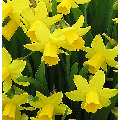 Image for Yellow Daffodils from StoreName
