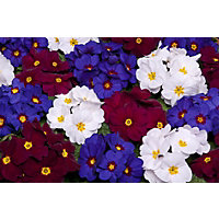 Primrose Berry Surpise Bedding Plant
