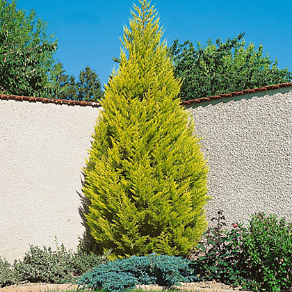 Large monterey cypress goldcrest at homebase be for Garden trees homebase
