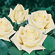 White Star Climbing Rose