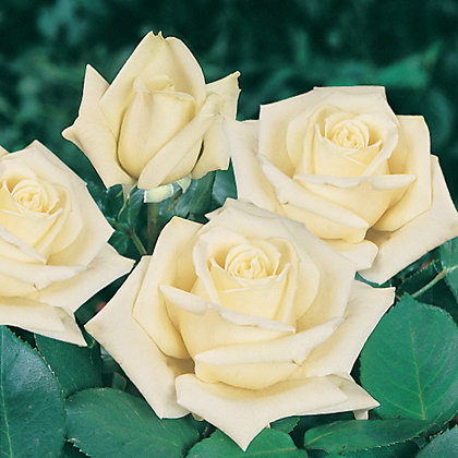 Image for White Star Climbing Rose from StoreName