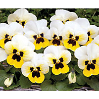 Viola Lemon Ice Blotch - 12 Plants