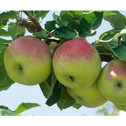 Image for Apple Bramley Fruit Tree - 7.5L from StoreName