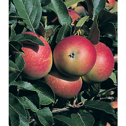 Image for Apple Discovery Fruit Tree - 7.5L from StoreName