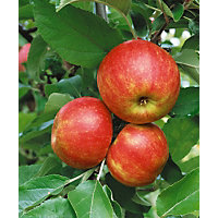 Apple Egremont Russet Fruit Tree  - 7.5L