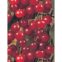 Cherry Morello Fruit Tree - 7.5L