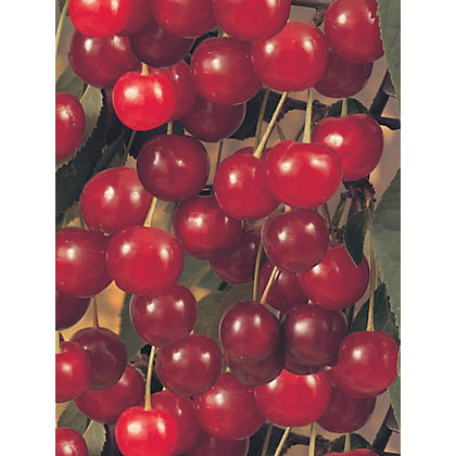 Image for Cherry Morello Fruit Tree - 7.5L from StoreName