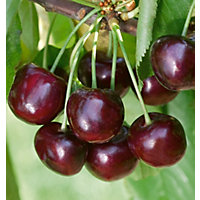 Cherry Stella Fruit Tree - 7.5L