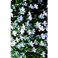 Bush Lobelia Mixed Bedding Plant
