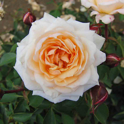 Image for Belle of the Ball Patio Rose from StoreName