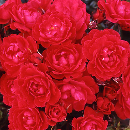 Image for Raspberry Royale Patio Bush Rose from StoreName