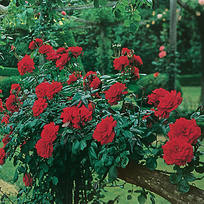 Image for Dublin Bay Climbing Rose from StoreName