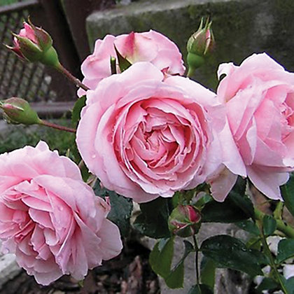 Image for Octavia Hill Harkness Shrub Rose from StoreName