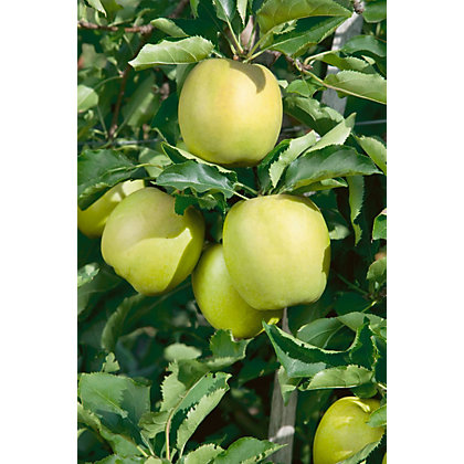 Image for Lord Derby Bare Root Cooking Apple Tree from StoreName