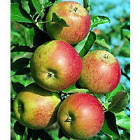 Cox's Orange Pippin S.F. Bare Root Eating Apple Tree