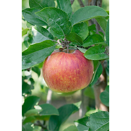 Image for Falstaff Bare Root Eating Apple Tree from StoreName