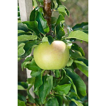 Image for Greensleeves Bare Root Eating Apple Tree from StoreName