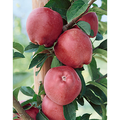 Image for Red Devil Bare Root Eating Apple Tree from StoreName