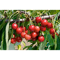 Nabella Bare Root Cooking Cherry Tree