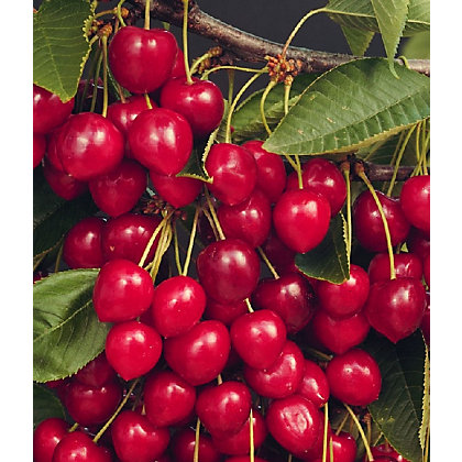 Image for Stella Sweet Eating Cherry Tree from StoreName