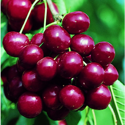Image for Sunburst Bare Root Sweet Eating Cherry Tree from StoreName