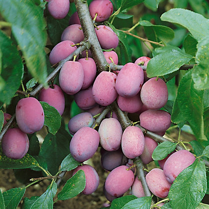 Image for Victoria Plum Tree from StoreName