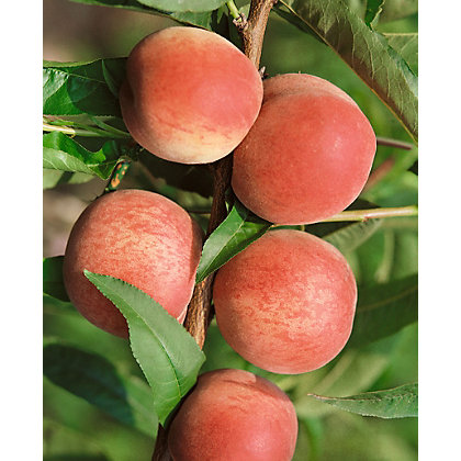 Image for Rochester Bare Root Peach Tree from StoreName
