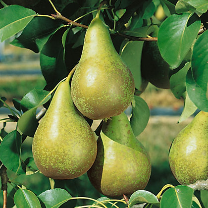 Image for Conference Pear Tree from StoreName