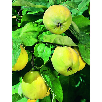 Image for Vranja Bare Root Quince Tree from StoreName