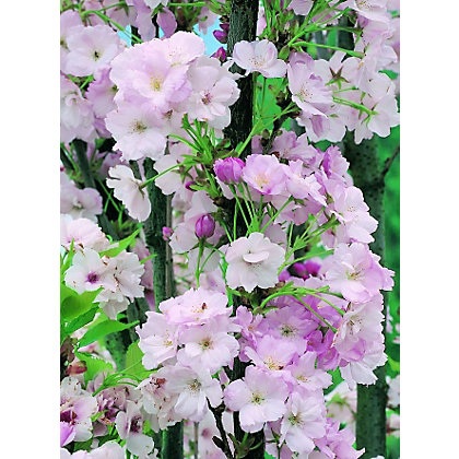 Image for Amanogawa Bare Root Flowering Cherry from StoreName