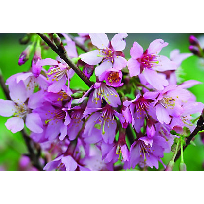 Image for Okame Bare Root Flowering Cherry from StoreName