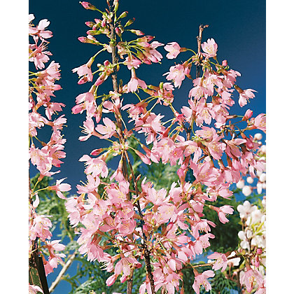 Image for Pandora Bare Root Flowering Cherry from StoreName