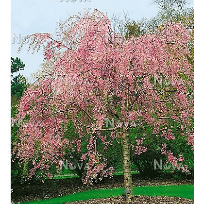 Pendula rubra bare root flowering cherry for Garden trees homebase