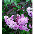 Royal Burgundy Bare Root Flowering Cherry