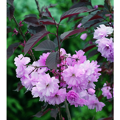 Image for Royal Burgundy Bare Root Flowering Cherry from StoreName