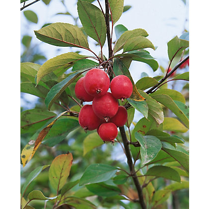 Image for Red Glow Bare Root Flowering Crab Apple from StoreName