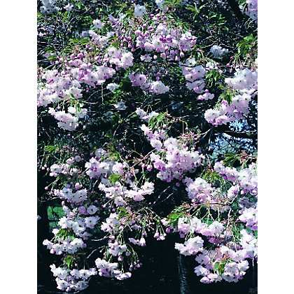 Shogetsu shimidsu sakura bare root flowering cherry for Garden trees homebase