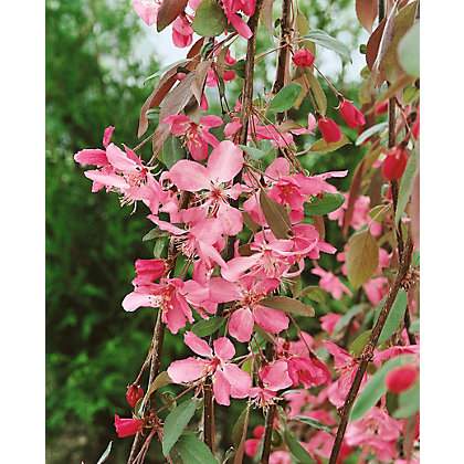 Image for Royal Beauty Bare Root Flowering Crab Apple from StoreName