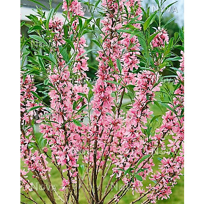 Image for Dwarf Russian Almond Tree from StoreName