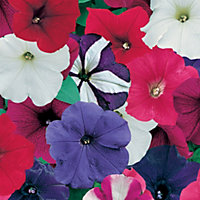 Petunia Mixed Plant (Pack of 24)