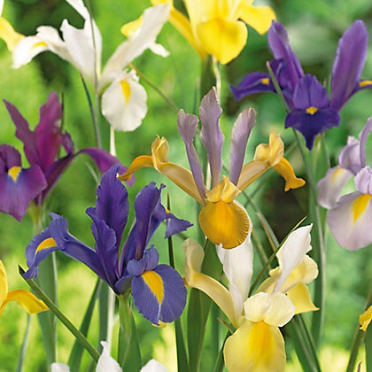 Image for Multicoloured Dutch Iris from StoreName