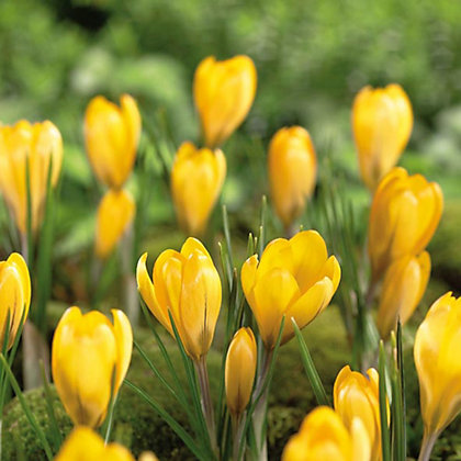 Image for Golden Yellow Crocus from StoreName